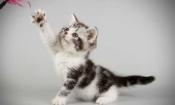 Продажа котят. Американские короткошерстные котята.